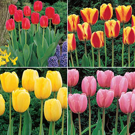 Jumbo Perennial Tulip Collection