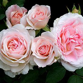 Morden Blush Shrub Rose