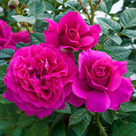 Pretty Lady Rose™ Downton Abbey® Hybrid Tea Rose