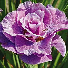 Pink Parfait Siberian Iris