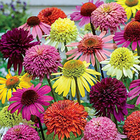 Hybridizer's Coneflower Mixture™
