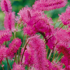 Japanese Bottlebrush™