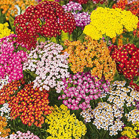 Rainbow Yarrow Mixture
