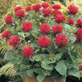 Fireball Bee Balm