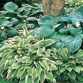 Hosta Mixture Super Sak®