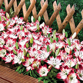 Sugar Baby Carpet Border Lily™
