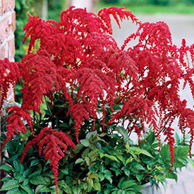 Red Charm Tall Japanese Astilbe