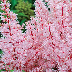 Look at Me® Astilbe