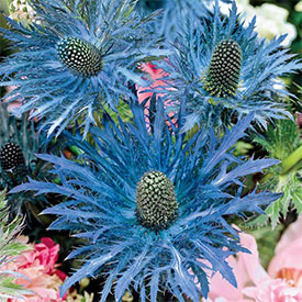 Donard Variety Sea Holly