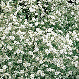 White Baby's Breath