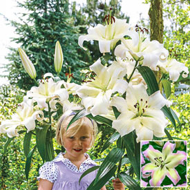 Pretty Woman Lily Tree®