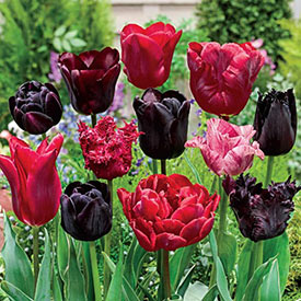 Mystery Novel™ Tulip Mixture