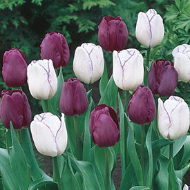 Purple Majesty Tulip Duet