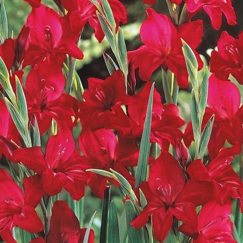 Hardy Gladiolus Robinetta