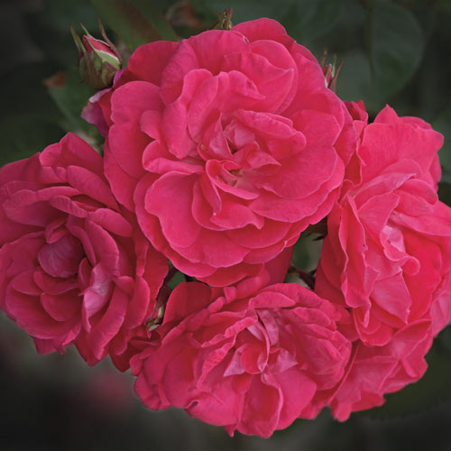 Party Hardy Shrub Rose