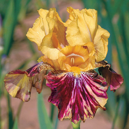Ziggy Reblooming Bearded Iris