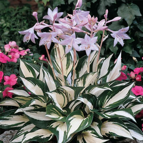 Fire and Ice Hosta