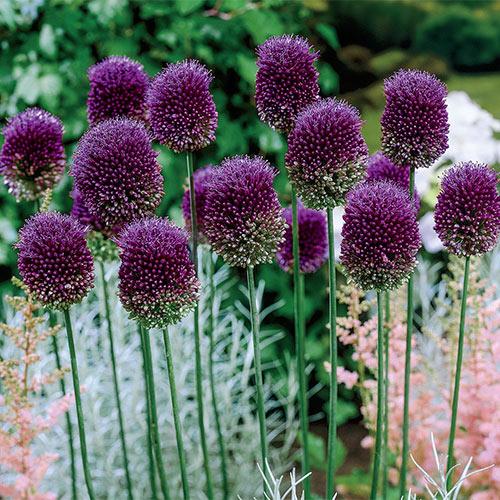 Drumstick Allium