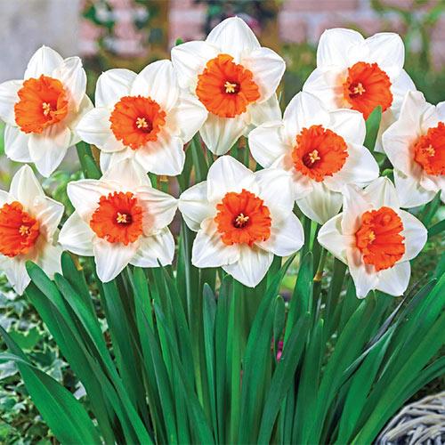 Johann Strauss Daffodil