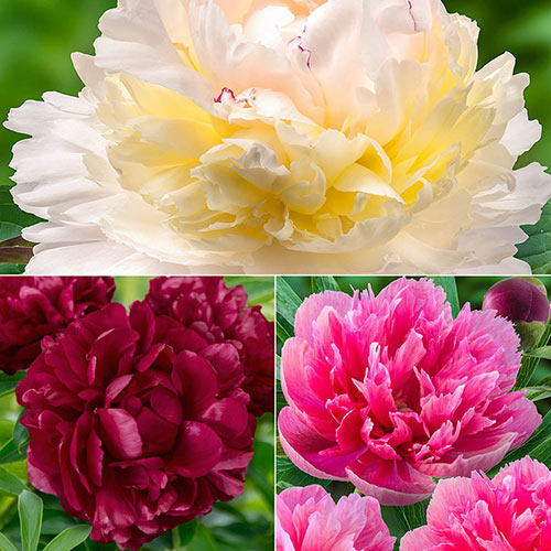 Historic Lifetime Peony Collection