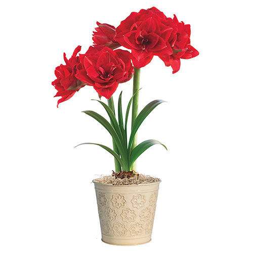 Cherry Nymph Amaryllis Single & Triple