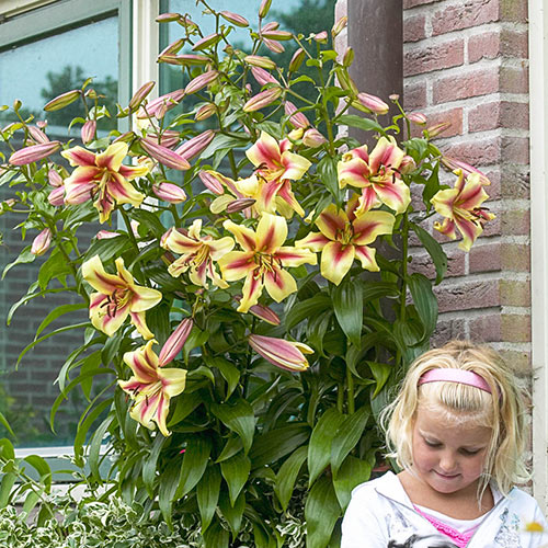 Lily Tree Collection