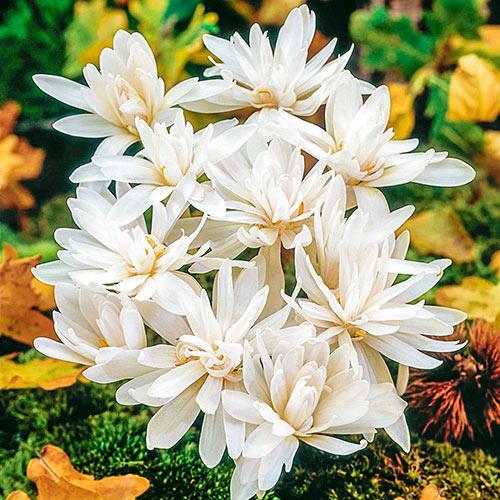 White Waterlily Colchicum
