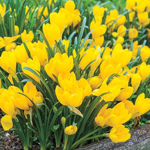 Topaz (Autumn Daffodil)