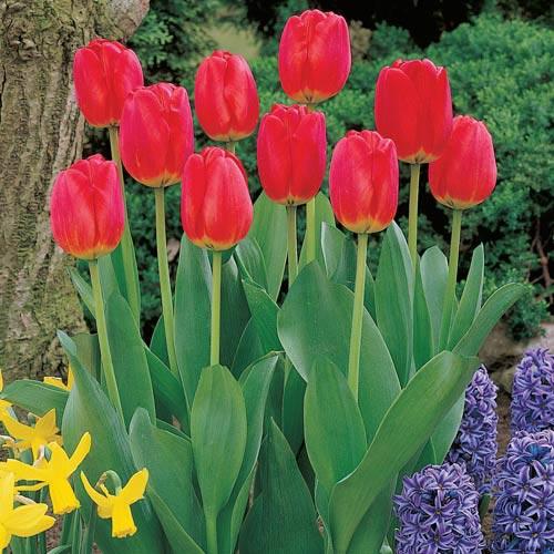 Red Matador Jumbo Tulip