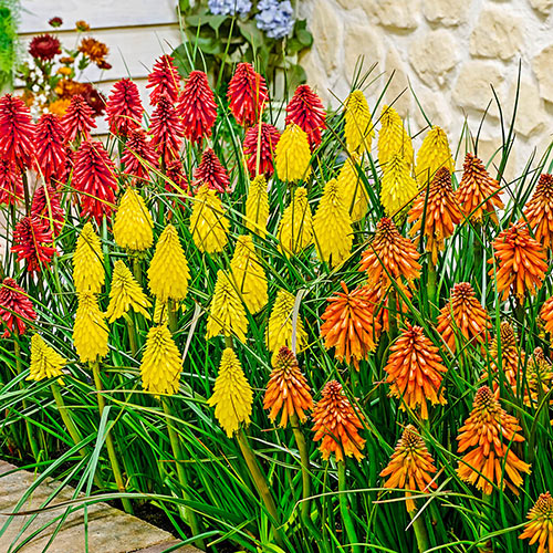 All Summer Blooming Little Hot Poker Poco Mixture