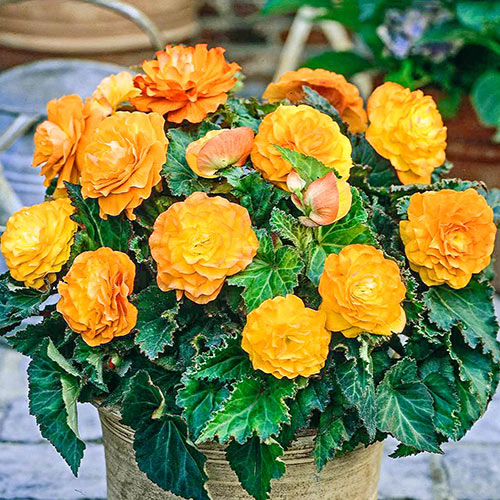 Apricot Nonstop Begonia