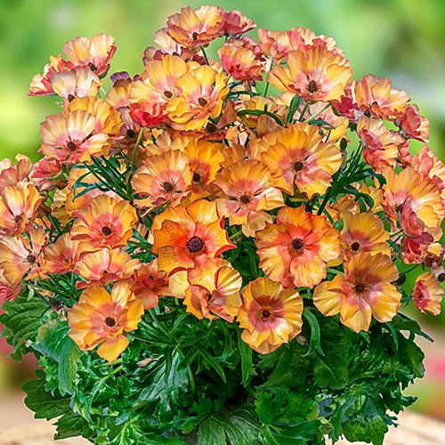 Butterfly Minoan Ranunculus
