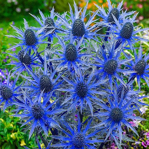 Big Blue Sea Holly
