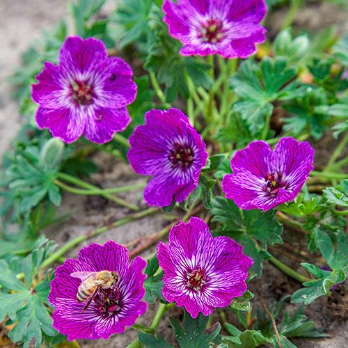 Jolly Jewel Lilac Geranium