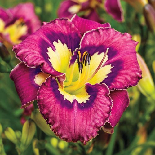 Catcher in the Eye Reblooming Daylily