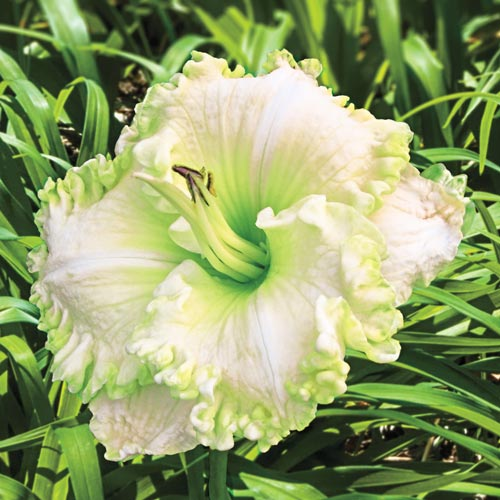 Green Mystique Reblooming Daylily