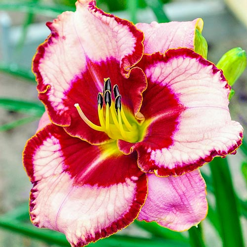 Lies and Lipstick Reblooming Daylily