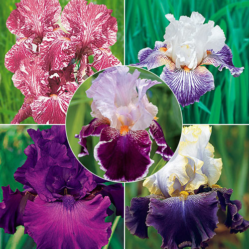 Iris Sale Collection