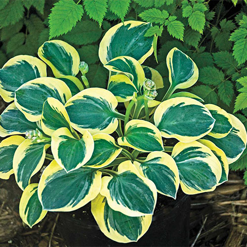 Mini Mouse Hosta Collection