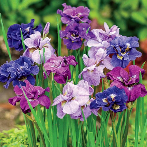 Double-Flowered Siberian Iris Mixture