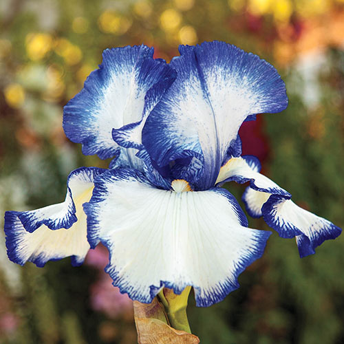 Presbys Crown Jewel Reblooming Bearded Iris