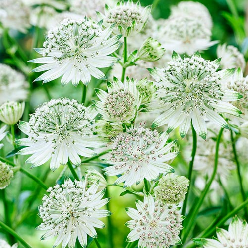 Astrantia Collection
