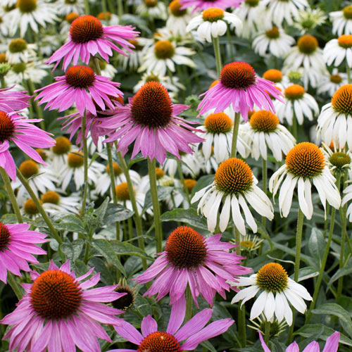 Magnus and White Swan Coneflower Mixture