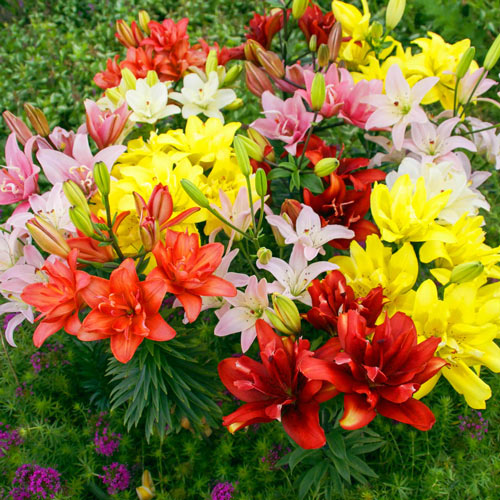 Pollen Free Double Asiatic Lily Mixture