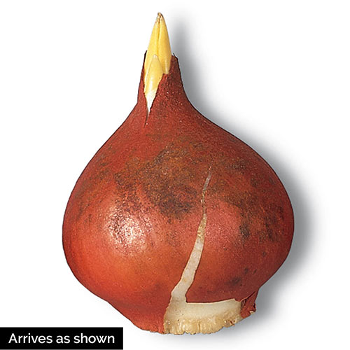Strawberry Ice Cream Tulip