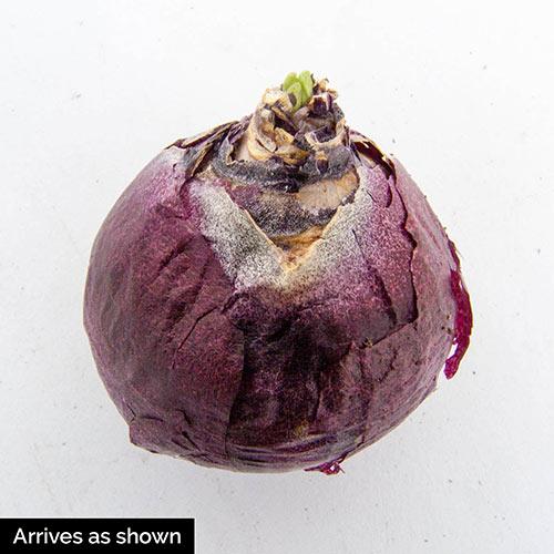 Hollyhock Hyacinth