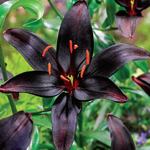 Black Wizard Asiatic Lily