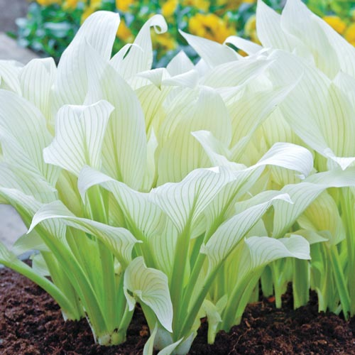 White Feather Hosta