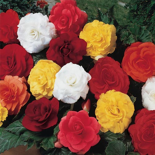 Double Begonia Mixture Super Sak