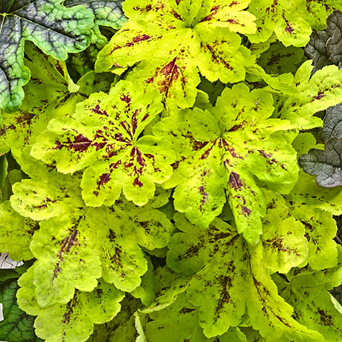 Trailing Tapestry Heucherella Collection
